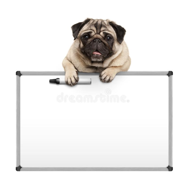 Cute pug puppy dog hanging with paws on blank marker white board,. Promotional sign, isolated on white background stock image