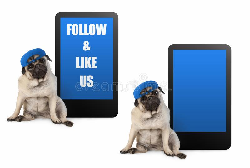 Cute pug puppy dog looking smart, sitting next to tablet phone with text follow and like us, wearing blue cap stock photos