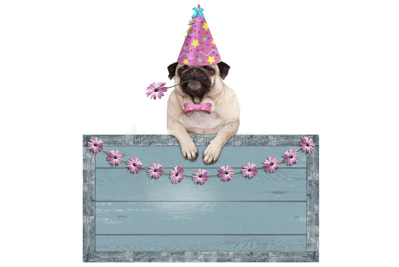 Cute pug puppy dog with pink party hat hanging on blank blue wooden sign with flowers stock image