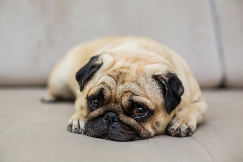 Cute pug puppy dog on sofa stock photo