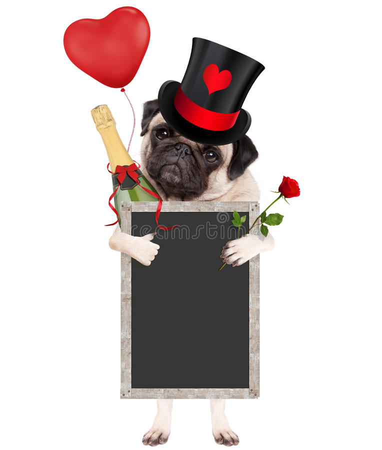 Cute pug puppy dog wearing top hat with valentine`s heart, holding champagne bottle, red rose and blank blackboard sign, isolated stock photo