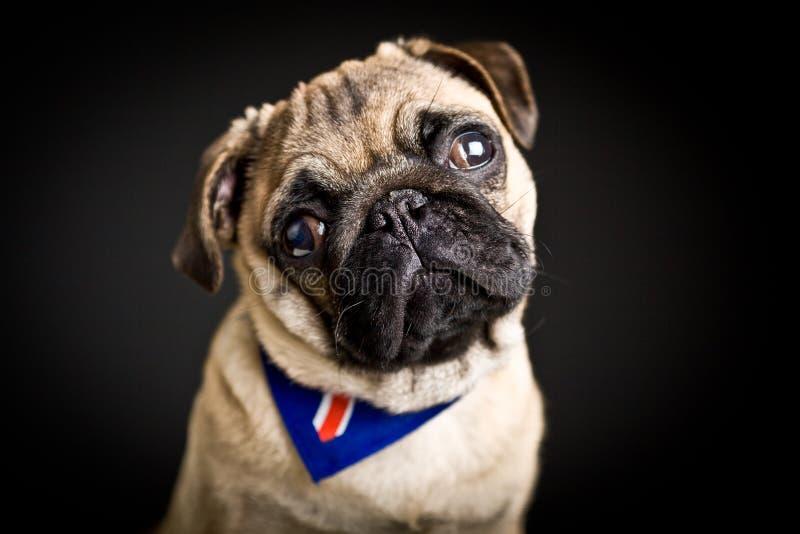 Cute pug puppy stock photo