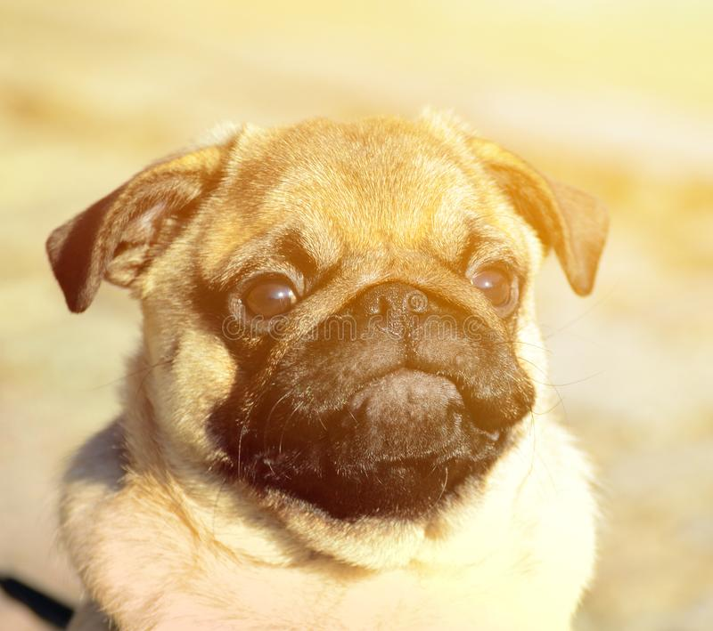 Cute pug puppy portrait royalty free stock image