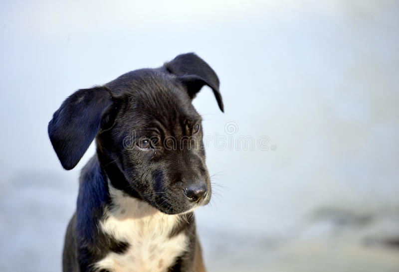 Cute Puppies of Amstaff dog, animal theme stock images