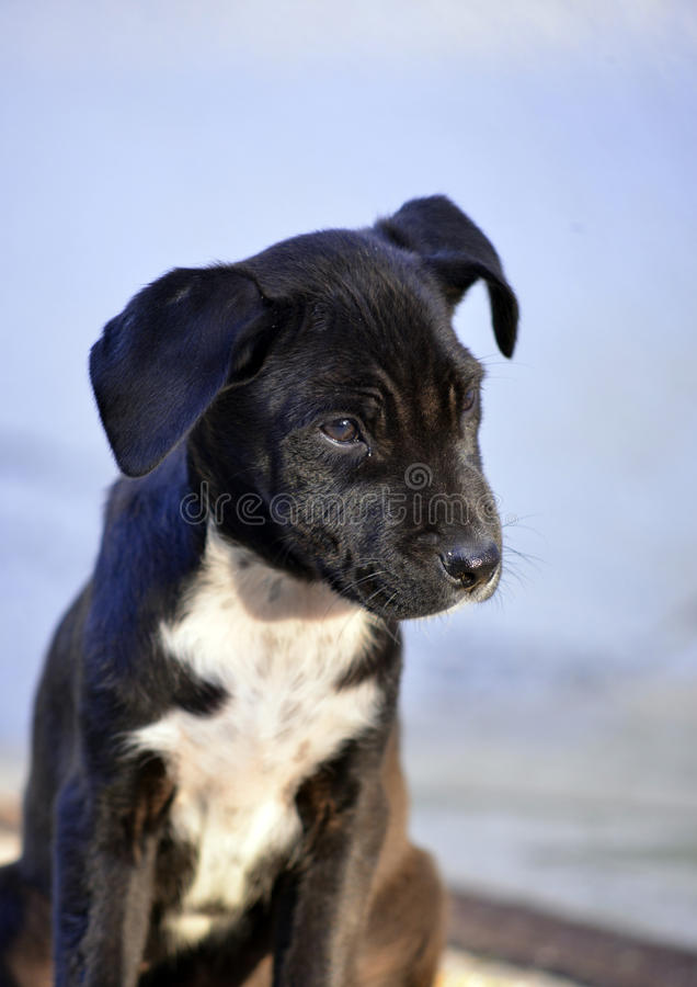 Cute Puppies of Amstaff dog, animal theme stock photography