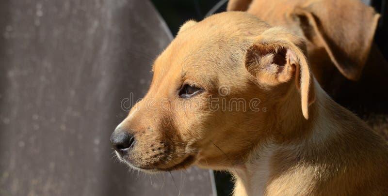 Cute Puppies of Amstaff dog, animal theme stock photos