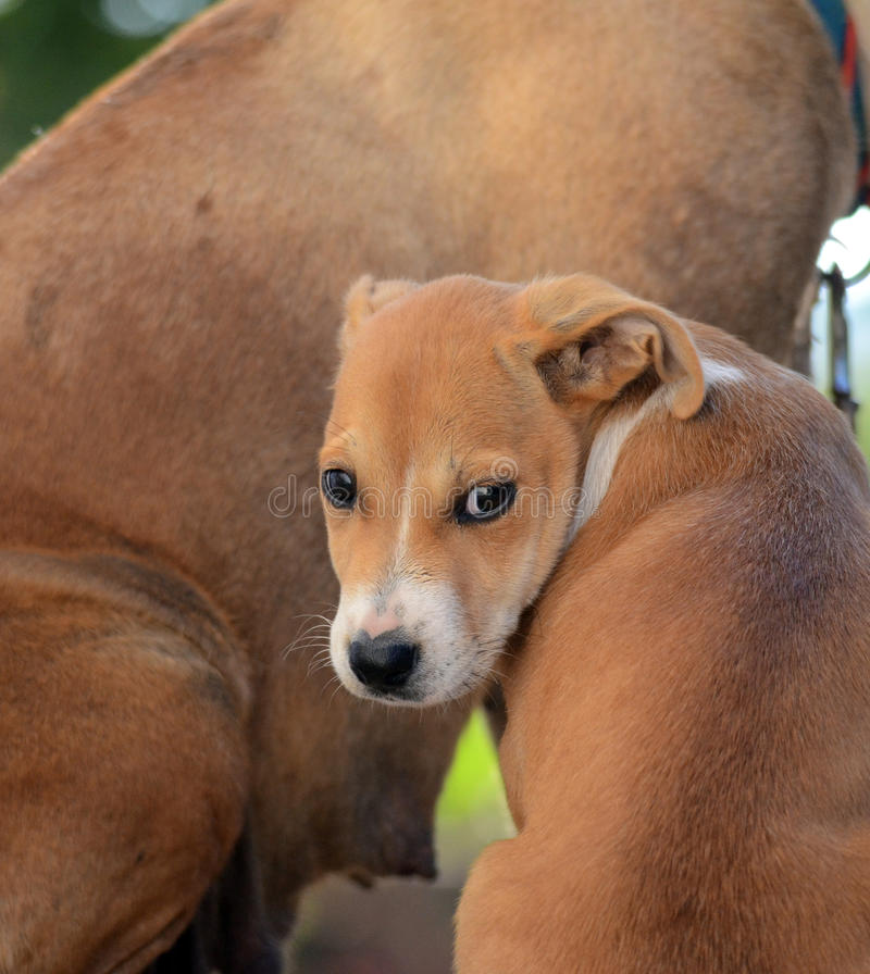 Cute Puppies of Amstaff dog, animal theme royalty free stock image