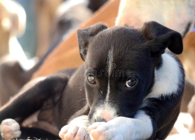 Cute Puppies of Amstaff dog, animal theme royalty free stock photo