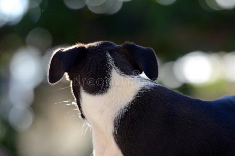 Cute Puppies of Amstaff dog, animal theme royalty free stock photos