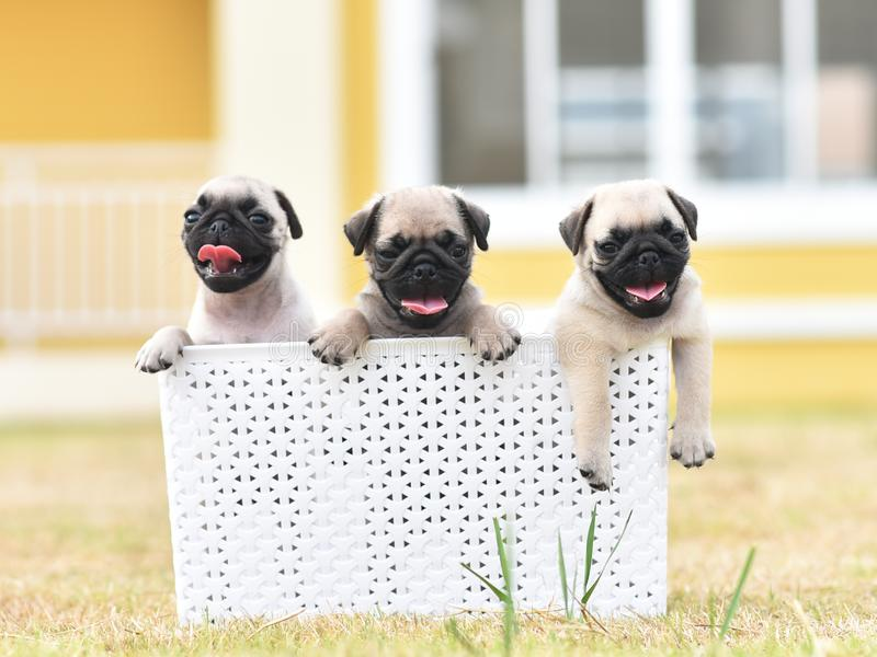 Cute puppies Pug with white bucket. Cute puppies brown Pug playing with white bucket royalty free stock images