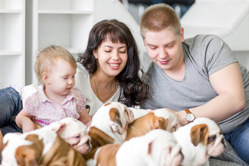 Cute puppies bulldog playing people young family.  royalty free stock photo