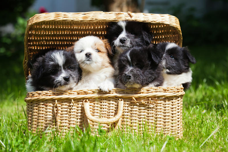 Cute puppies in a case. Cute Elo (German dog breed) puppies sitting in a suitcase royalty free stock photography