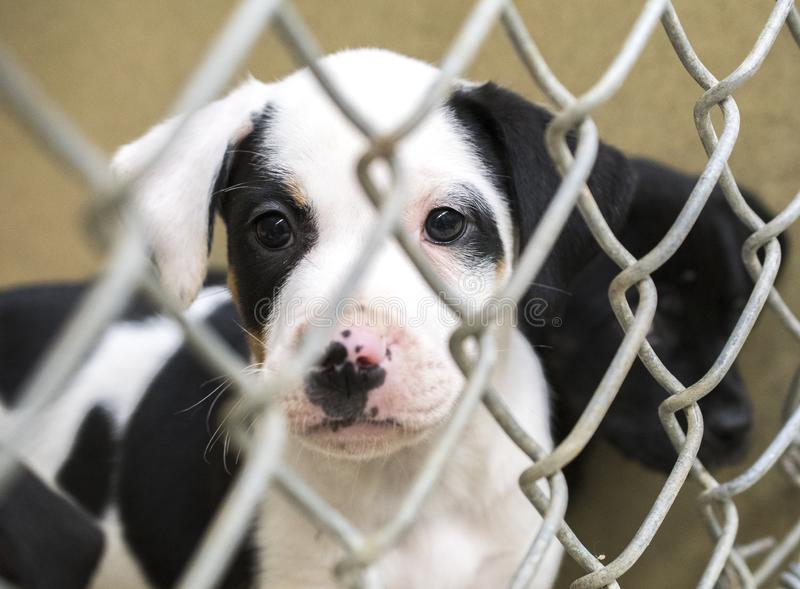Cute puppies in chain link kennel in the dog pound waiting for adoption. Sad mix breed puppy in kennel pen at dog pound waiting for adoption at animal shelter stock photo