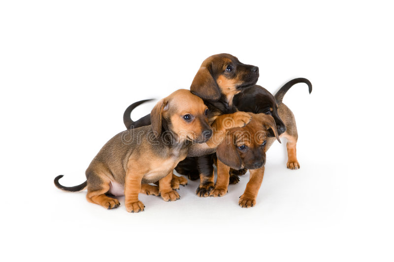 Download Cute puppies of dachshund stock image. Image of furry - 4721165