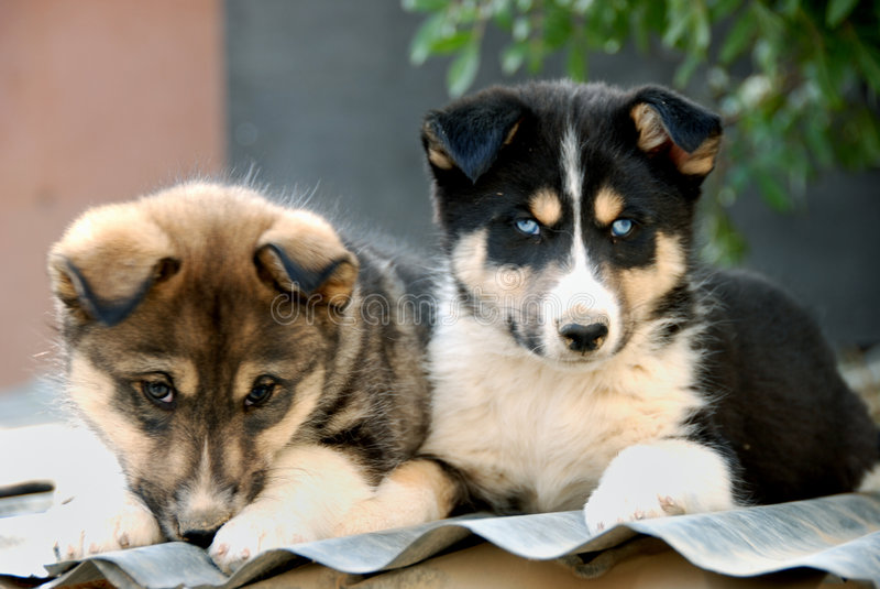 Cute puppies gazing royalty free stock photos