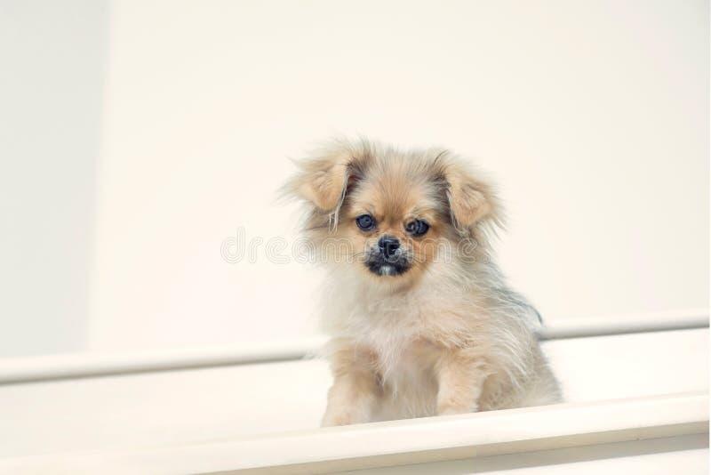 Cute Puppies Pomeranian Mixed Breed Pekingese Of Dog