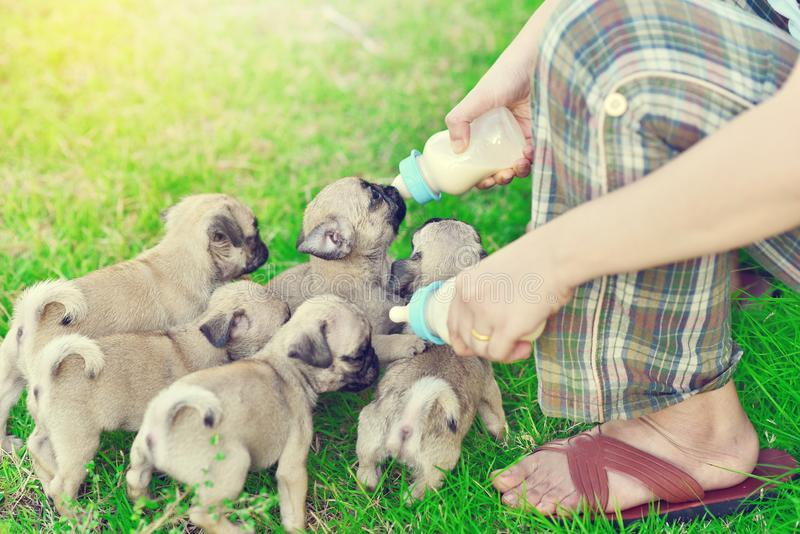 Cute puppies Pug eating goat milk royalty free stock photo