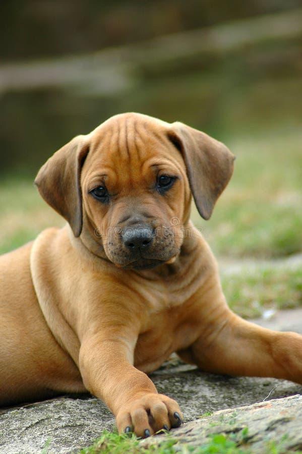 cute puppy 免版税库存图片