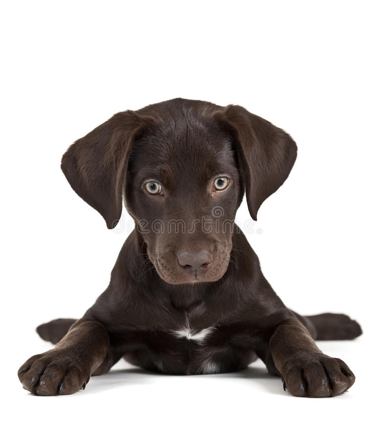 Cute puppy. On white background facing camera