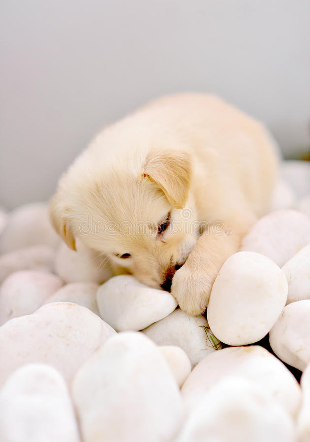 Download Cute puppy stock photo. Image of image, labrador, pebble - 18658844