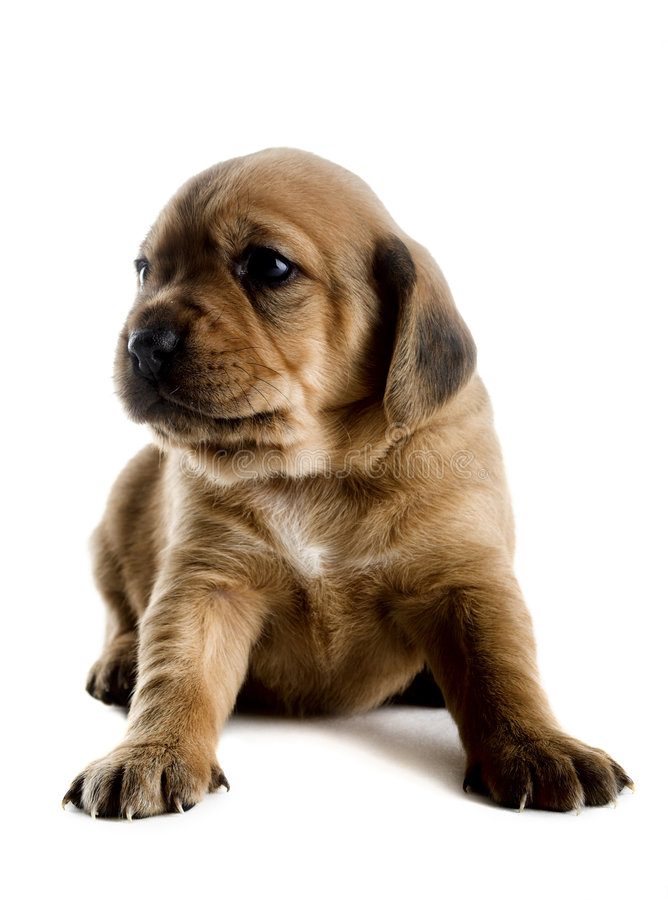 Cute Puppy. Little cute puppy isolated on white background royalty free stock images