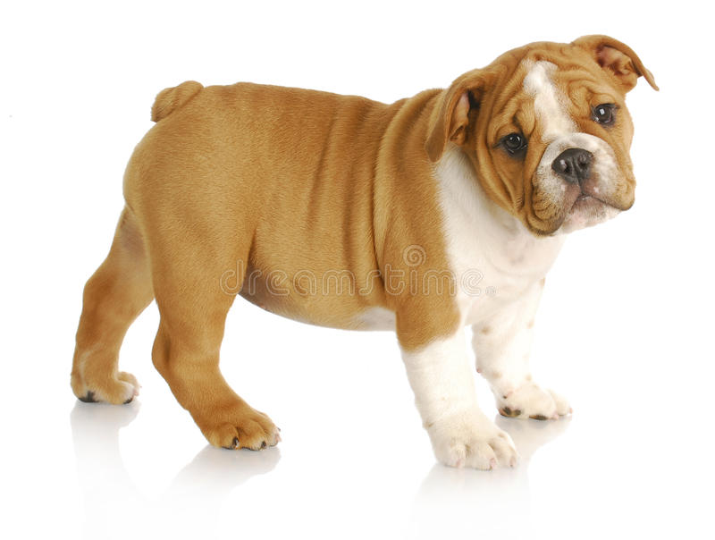 Cute puppy. English bulldog puppy standing looking at viewer on white background - nine weeks old royalty free stock photo