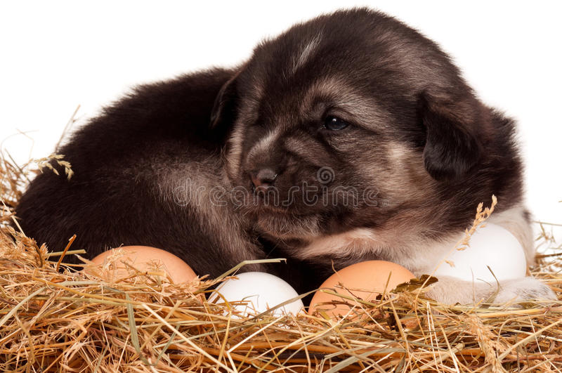Download Cute puppy stock photo. Image of bodyguard, animal, up - 26828420
