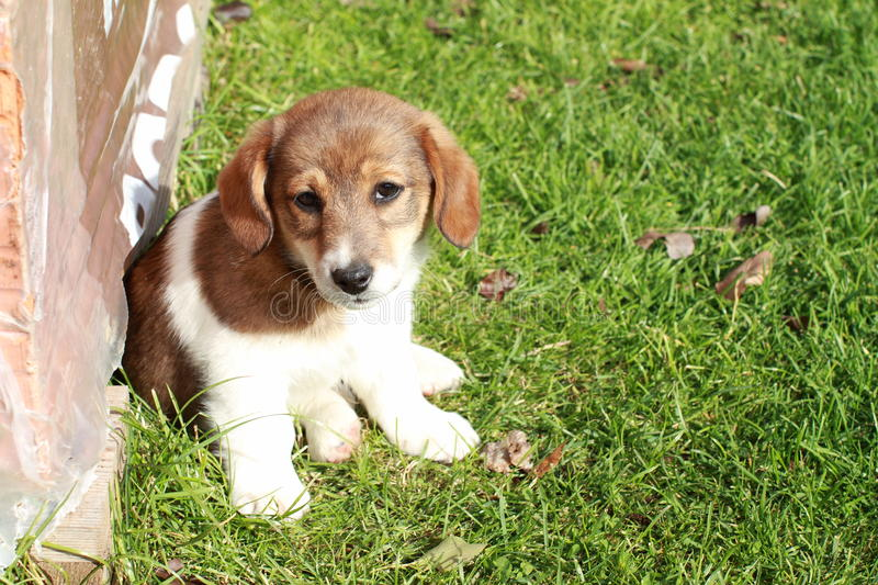 Cute puppy. Sitting on green grass and smiling stock images