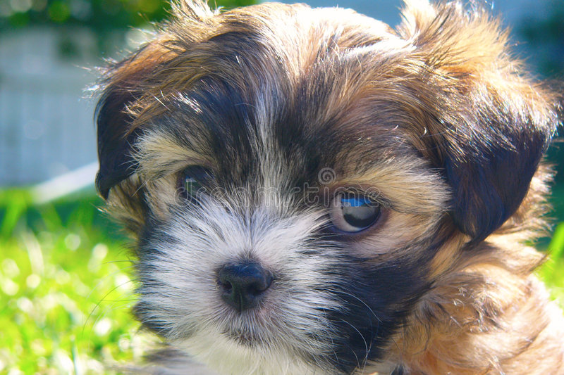 Cute Puppy. A closeup of a cute eight week old maltese yorkshire puppy dog on the grass stock images