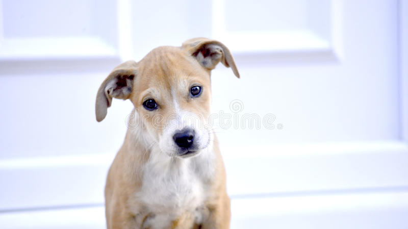 Cute Puppy of Amstaff dog, animal theme. Cute Puppies of Amstaff dog, animal theme royalty free stock photo