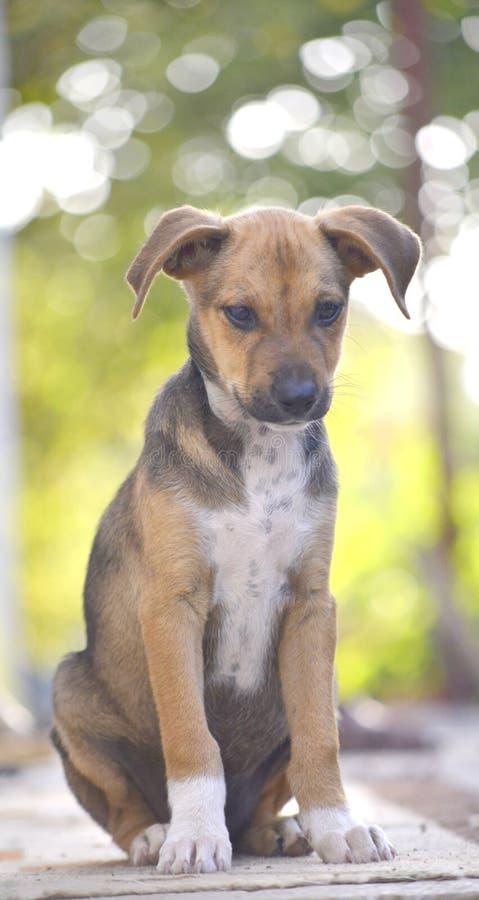 Cute Puppy of Amstaff dog, animal theme. Cute Puppies of Amstaff dog, animal theme stock images