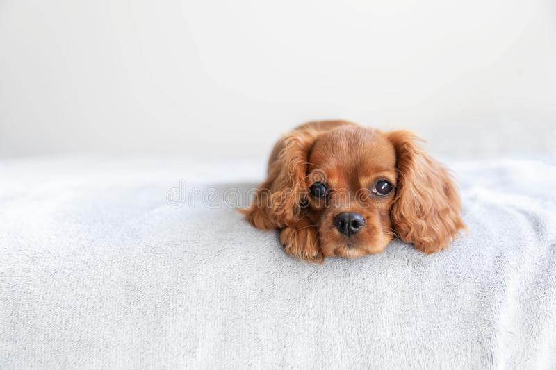 Cute puppy on the bed. Cute puppy lying on the bed royalty free stock images