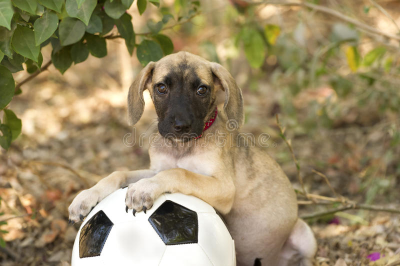 Cute Puppy. Is a big eyed adorable puppy with floppy ears looking curious while resting on a ball outdoors stock image