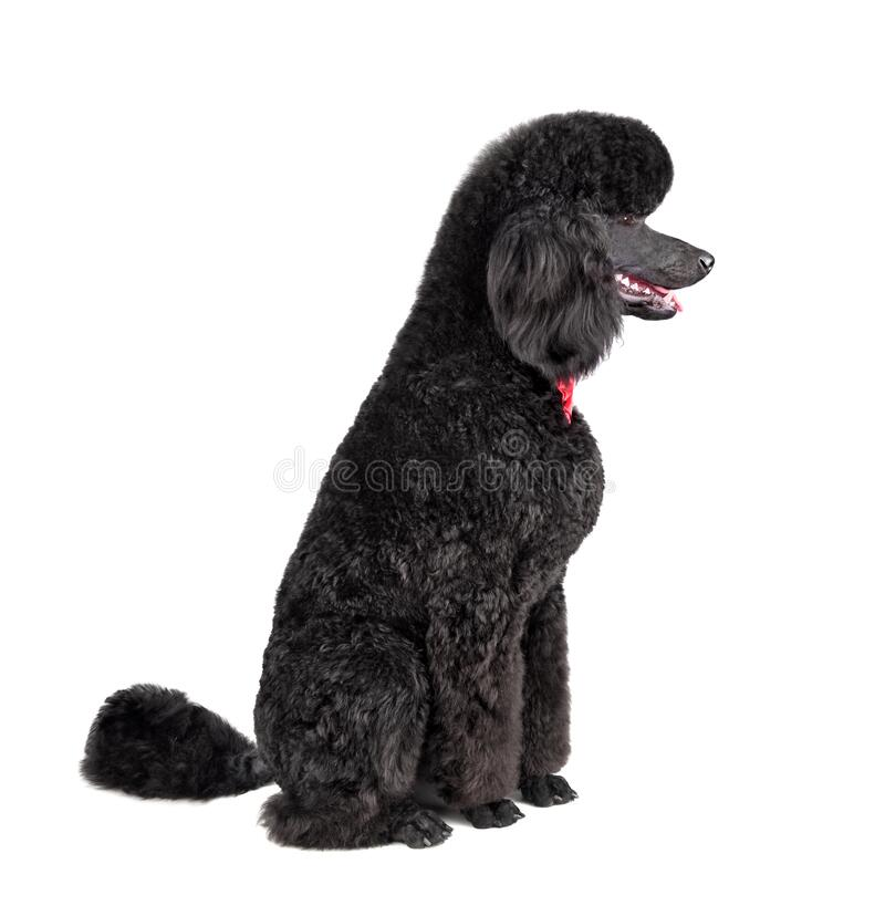Cute puppy of black poodle stock image
