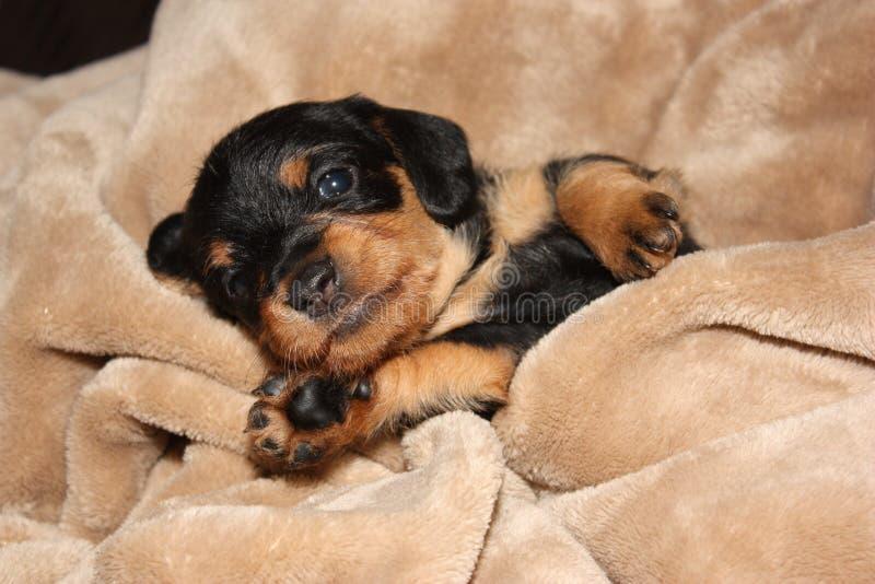 Download Puppy Black Adorable Dog - cute-puppy-black-wiener-dog-dachshund-tan-blanket-46768401  Snapshot_19646  .jpg