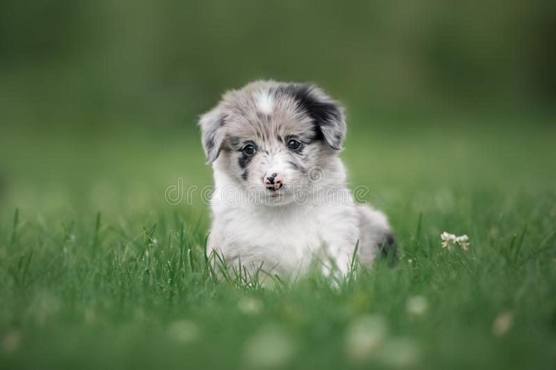 Cute puppy border collie pensively sitting in the grass royalty free stock image