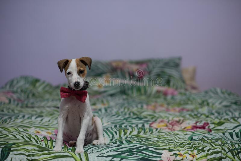 Cute puppy with bowtie sitting on bed stock photos
