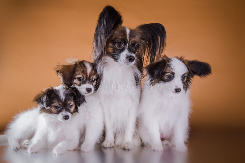 Cute puppy of breed papillon. Little puppy papillon on a colored background, accessories stock photos