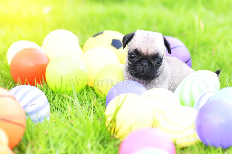 Cute puppy Pug with green lawn stock photos