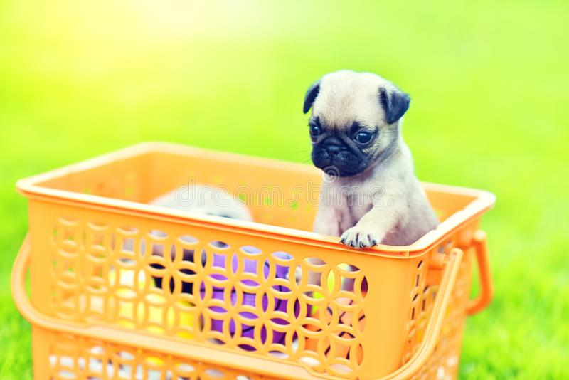 Cute puppy brown Pug royalty free stock images