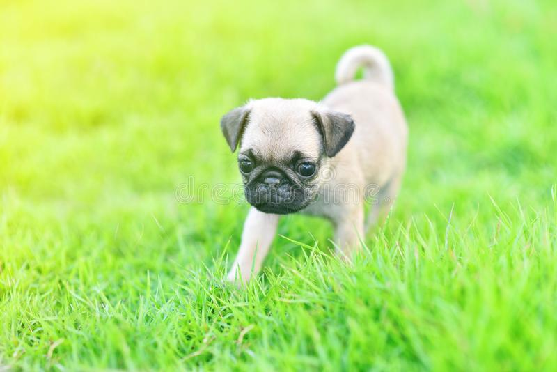Cute puppy Pug in garden. Cute puppy brown Pug with green grass royalty free stock images