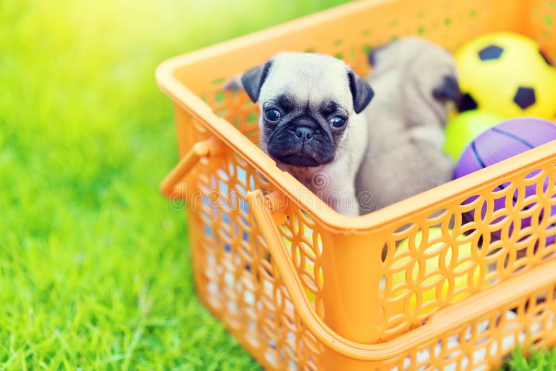 Cute puppy brown Pug stock photography