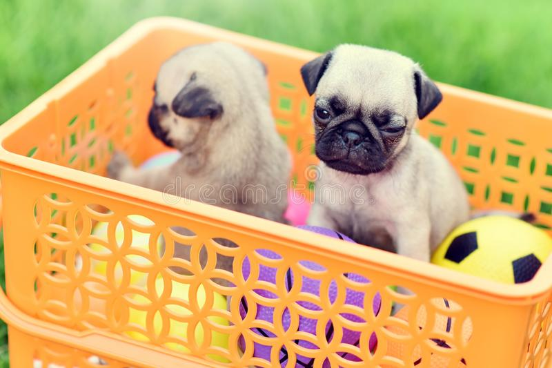 Cute puppy Pug. Cute puppy brown Pug in orange basket royalty free stock images