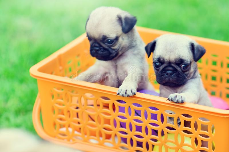 Cute puppy Pug. Cute puppy brown Pug in orange basket royalty free stock photography