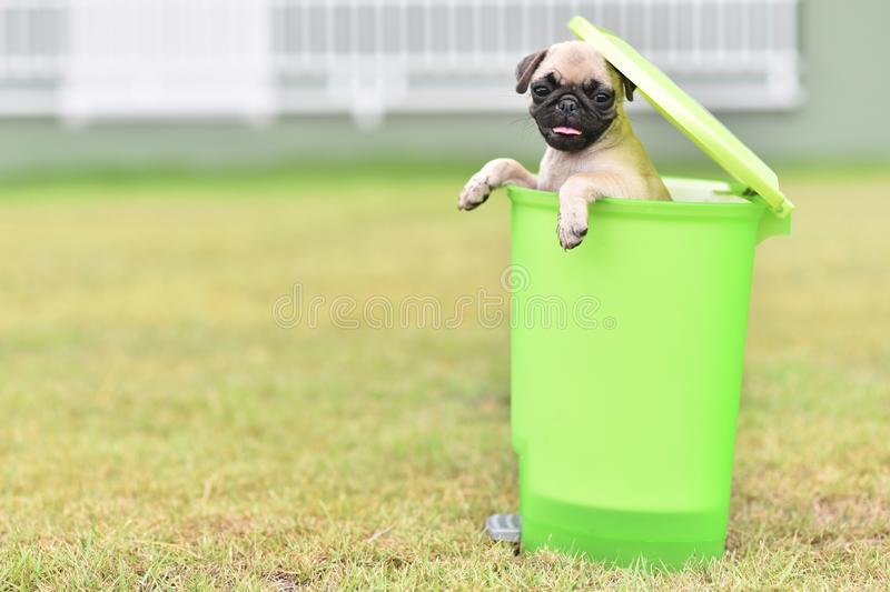 Cute puppy Pug in green bin. Cute puppy brown Pug playing in green bin royalty free stock images