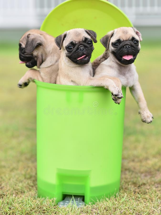 Puppy brown Pug in green bin. Cute puppy brown Pug playing in green bin stock images