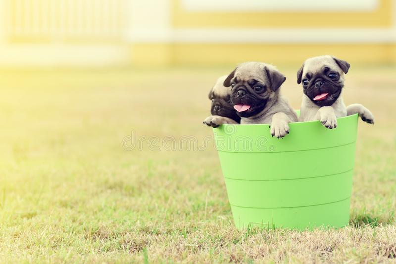 Puppy Pug with green bucket. Cute puppy brown Pug playing in green bucket stock images