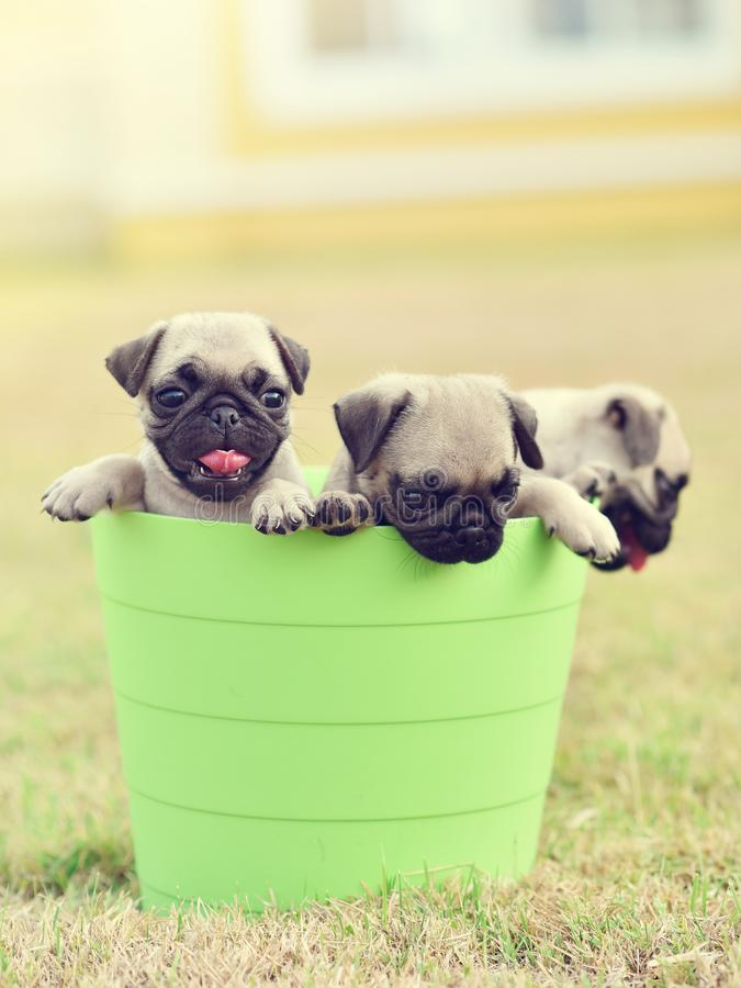 Puppy Pug with green bucket. Cute puppy brown Pug playing in green bucket stock photos