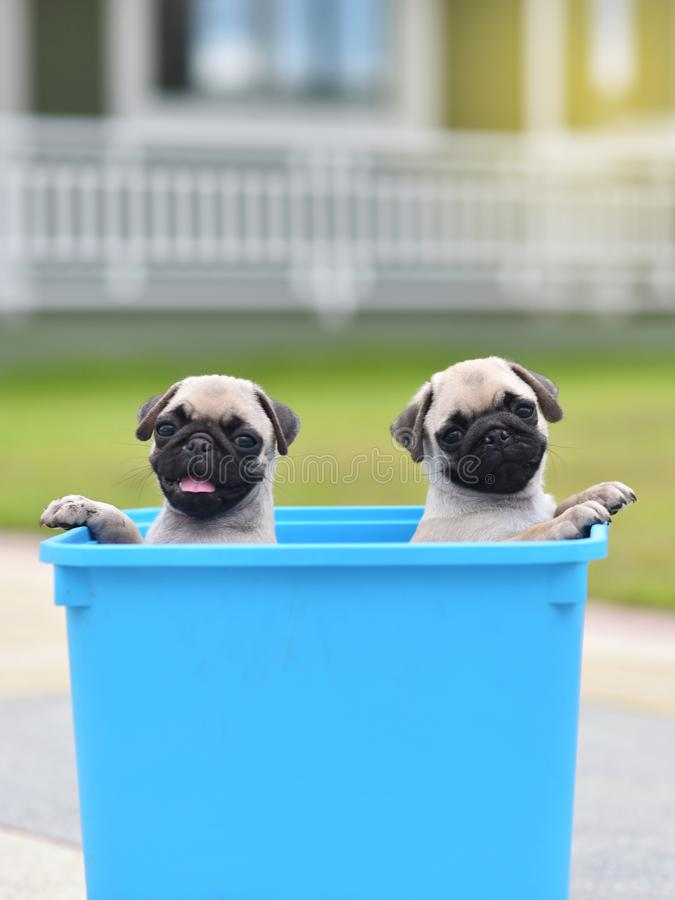 Puppy Pug in bucket. Cute puppy brown Pug stay in blue bucket royalty free stock images