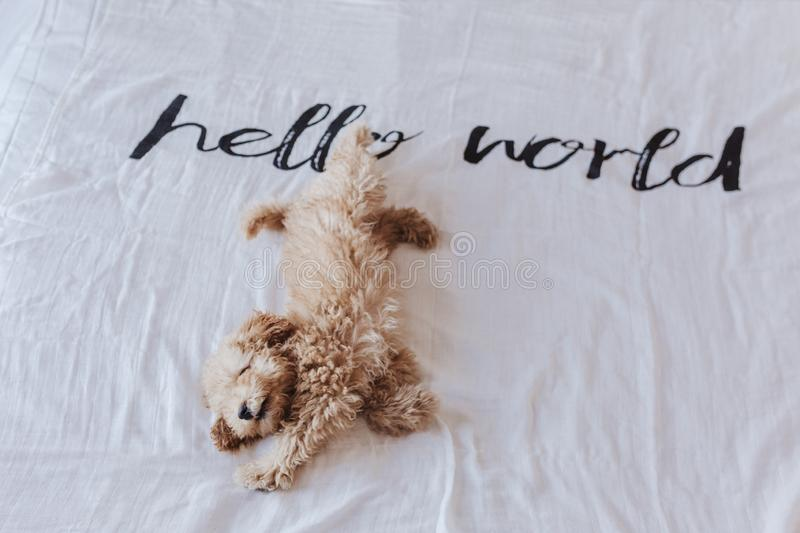 Cute puppy brown toy poodle lying on bed with a hello world white blanket. Lifestyle indoors royalty free stock image